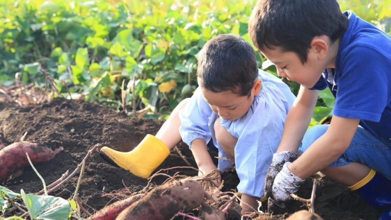 芋掘りをしている子どもたち